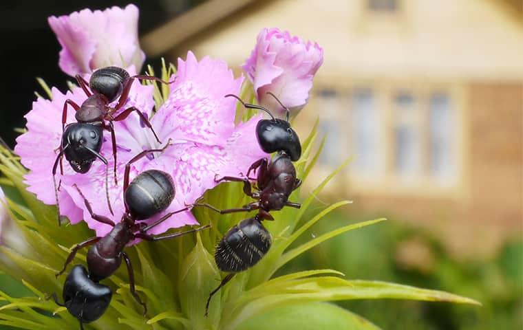 a colony of black ants festering a freshly bloomed flower in a florida garden