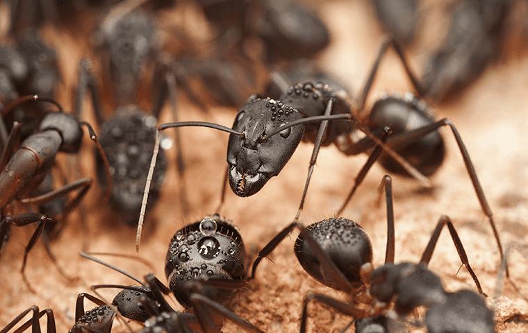 carpenter ants in jacksonville