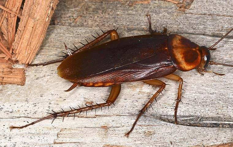 a cockroach crawling along a wooden table top in a jacksonville kitchen