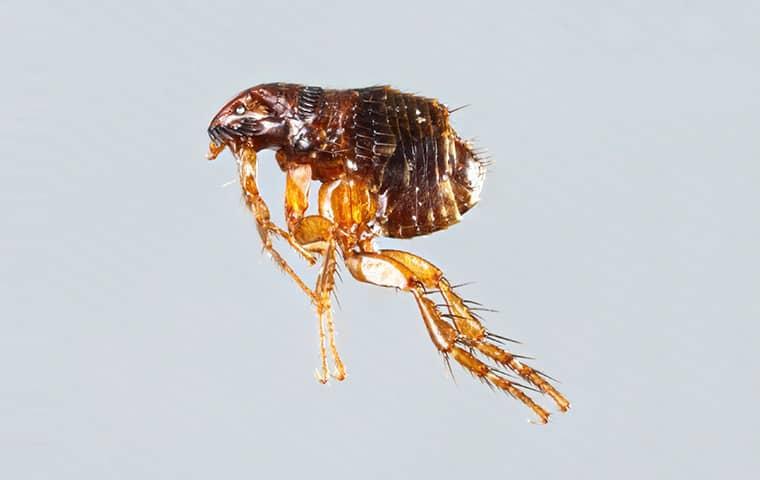 flea on white background