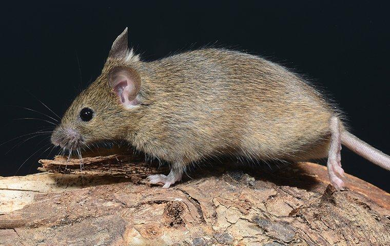 up close image of a house mouse walking on a piece of wood