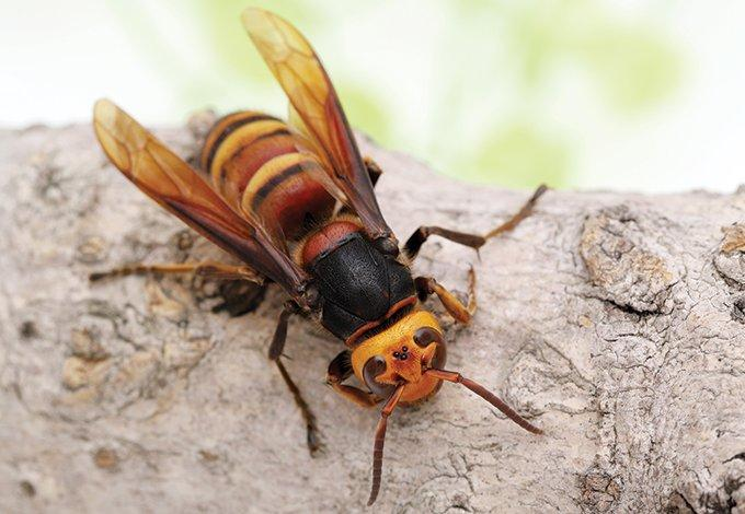 murder hornet on tree branch