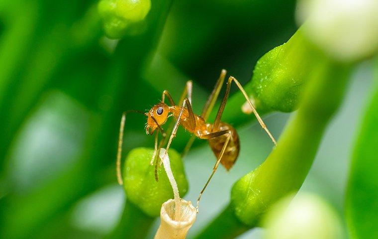 a pharaoh ant on the stem of a leaf