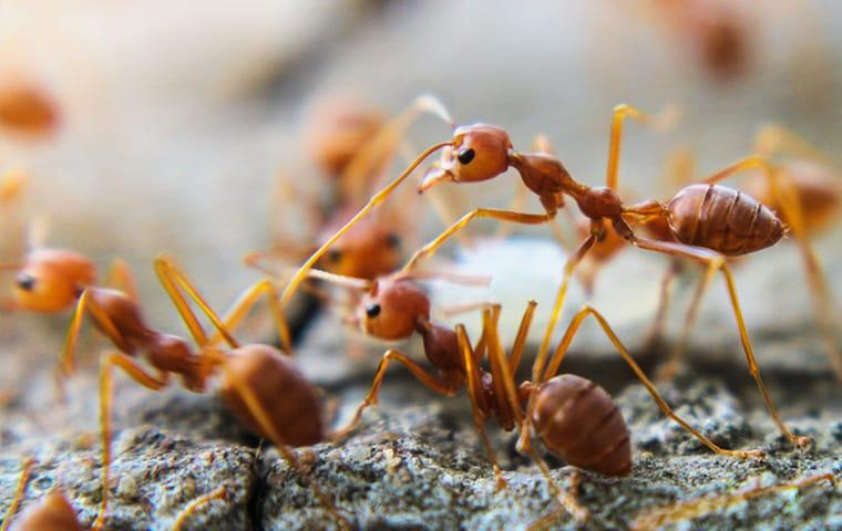 a large colony of red imported fire ants crawling in and around a sand hill on a jacksonville florida property