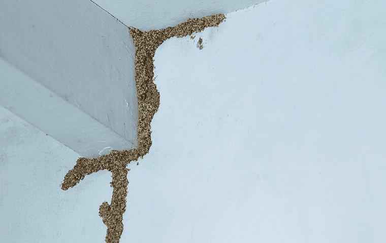 termite mud tube in florida home