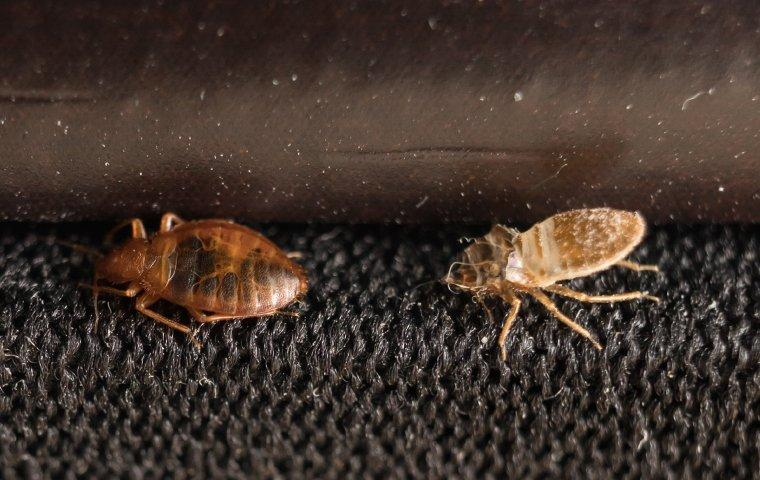 a bed bug shedding its skin on furniture in bostwick florida