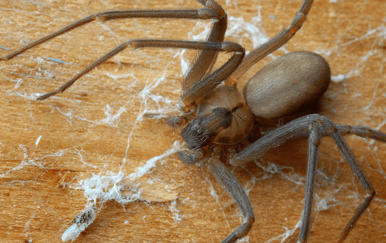 a brown recluse spider in a home in ponte vedra beach florida