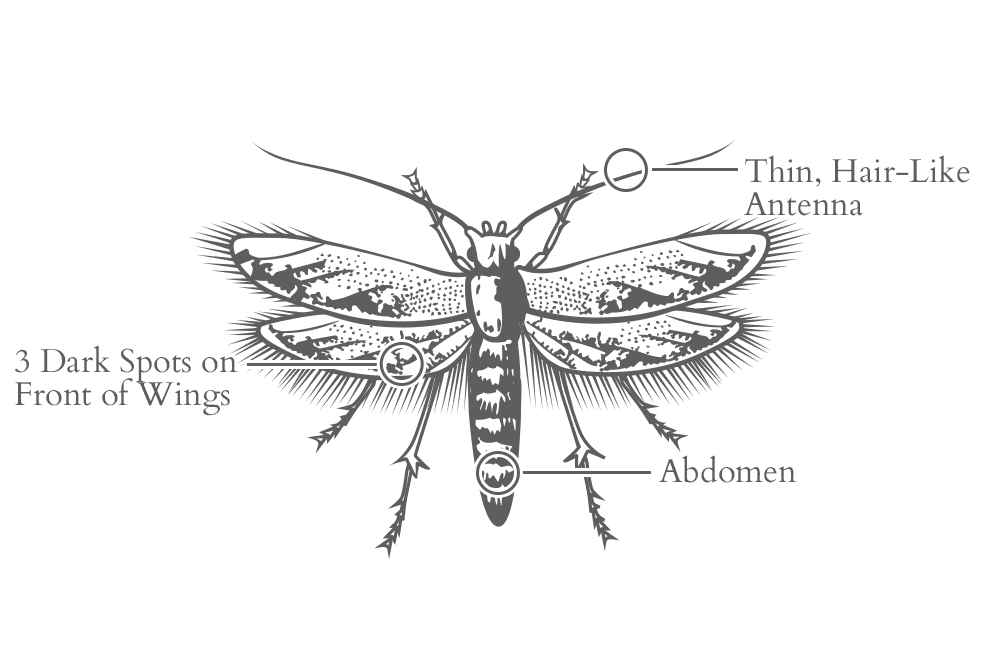 an illustration of a casemaking clothes moth