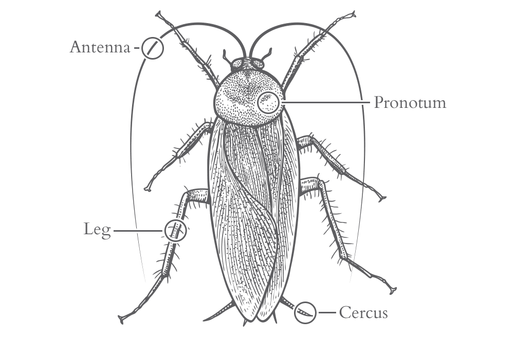 an illustration of a cockroach