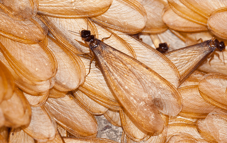 many drywood termites in a home in jacksonville florida