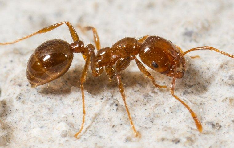 a fire ant on a patio