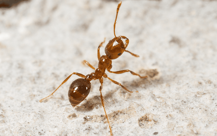 a fire ant in dirt outside of a saint augustine florida home