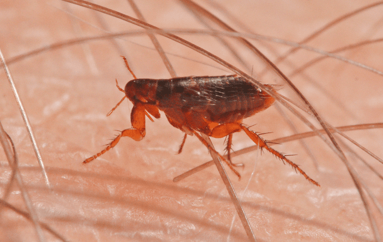 a flea on a persons skin in a home in lakeside florida