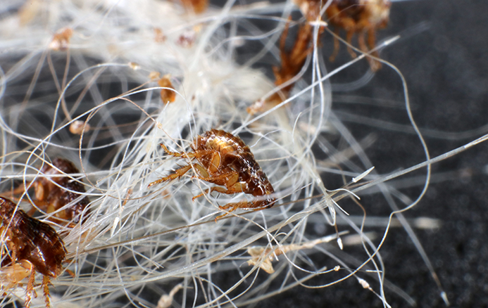 fleas in hair