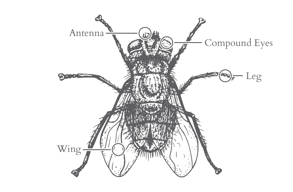 an illustration of a fly