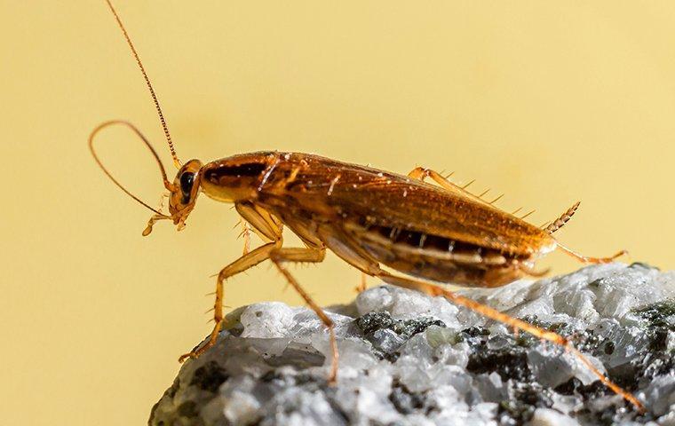 german cockroach up close