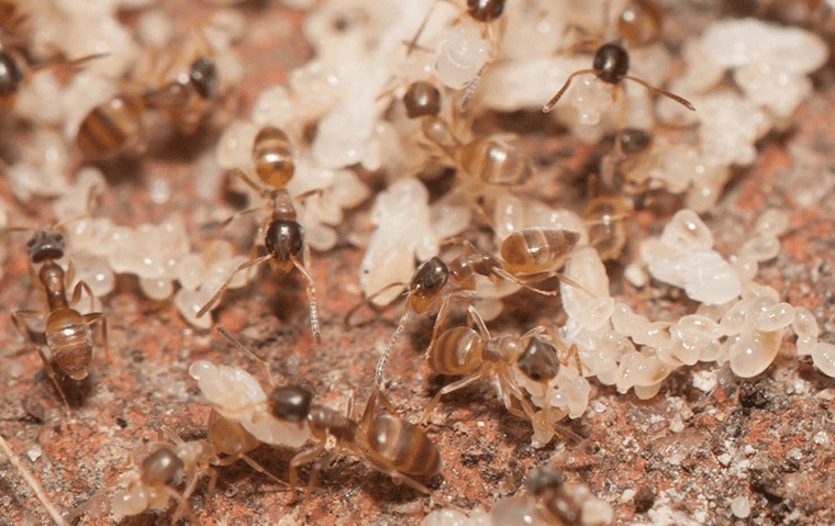 ghost ants in their nest in a san marco florida yard