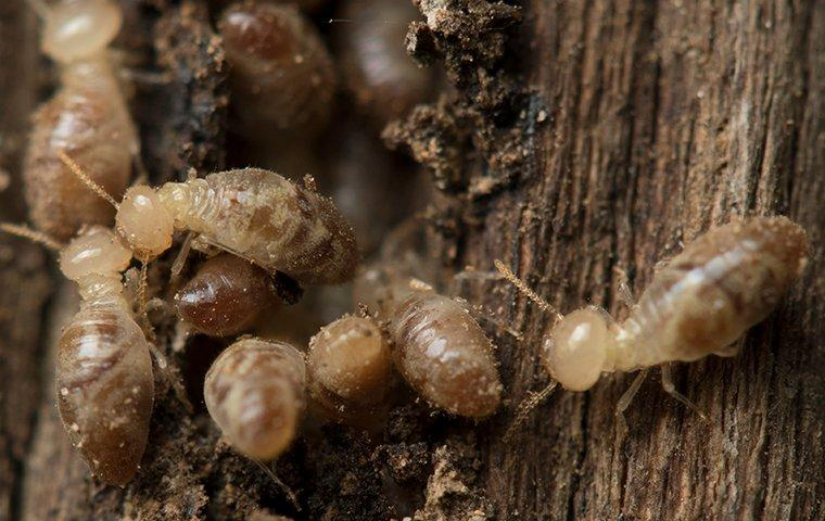termites crawling and tunneling in wood in hilliard florida