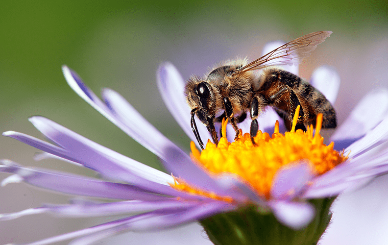 a honey bee on a purple flower outside of a jacksonville home