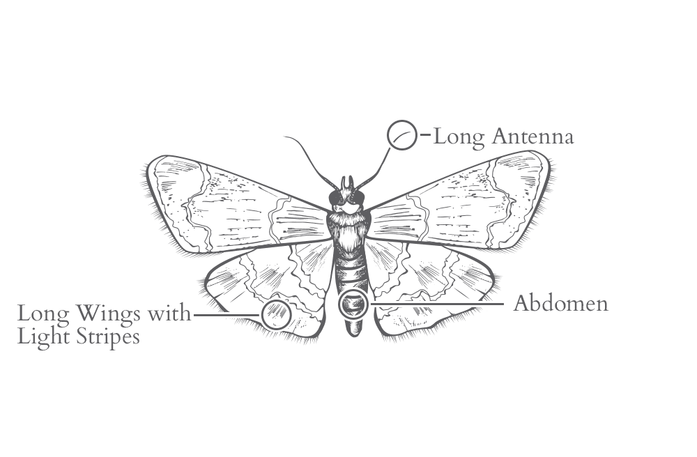 an illustration of an indian meal moth