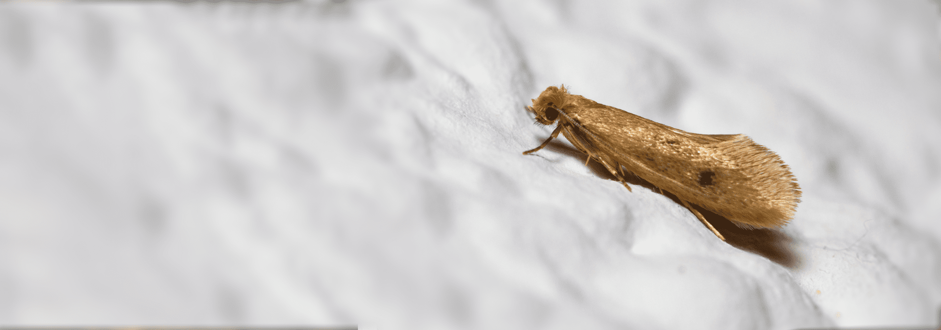 a case making clothes moth on white fabric in a jacksonville florida home