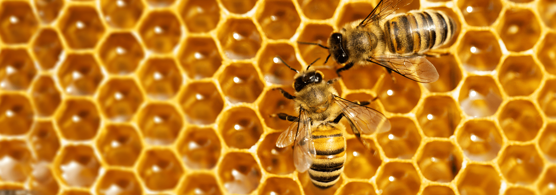 two honey bees on a comb outside of a home in middleburg florida