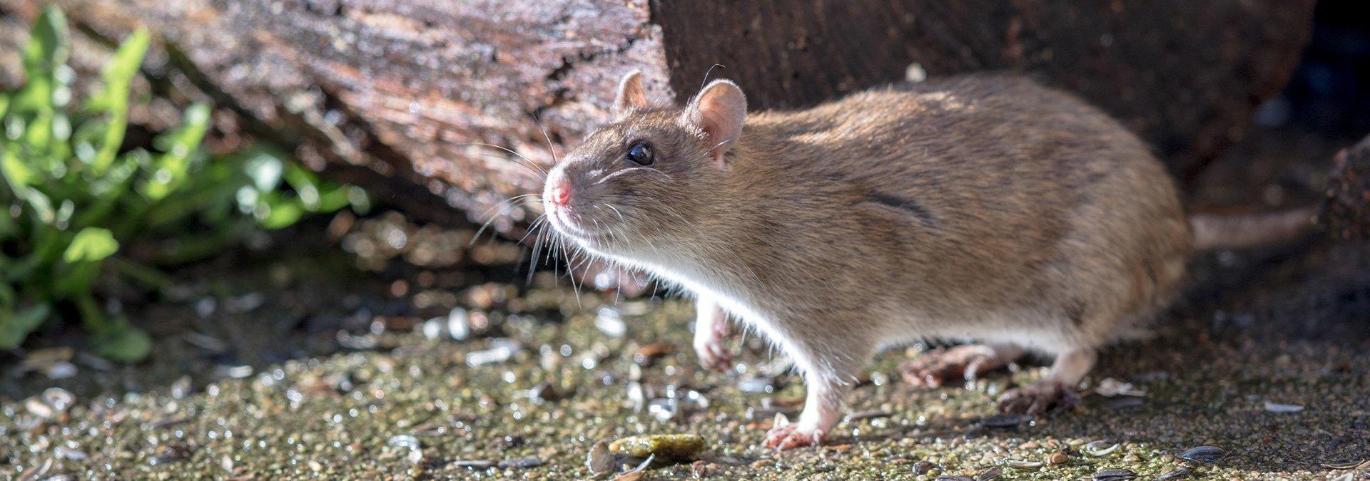norway rat on the ground