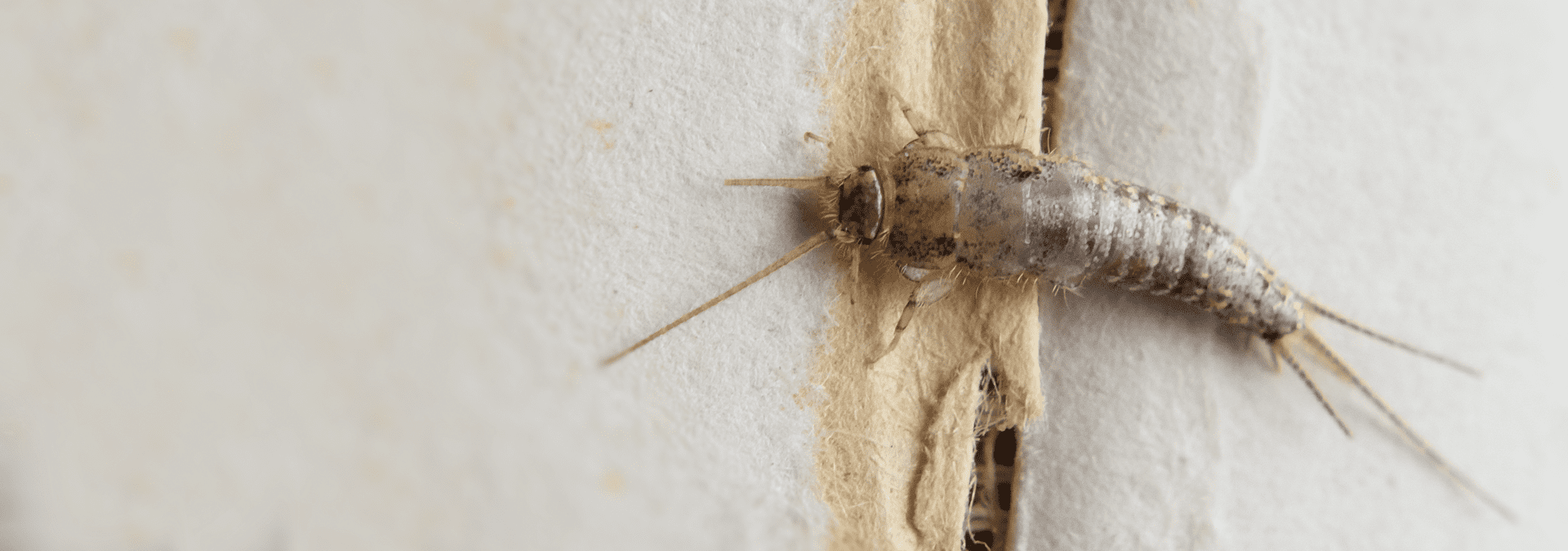 a silverfish inside of a jacksonville florida home