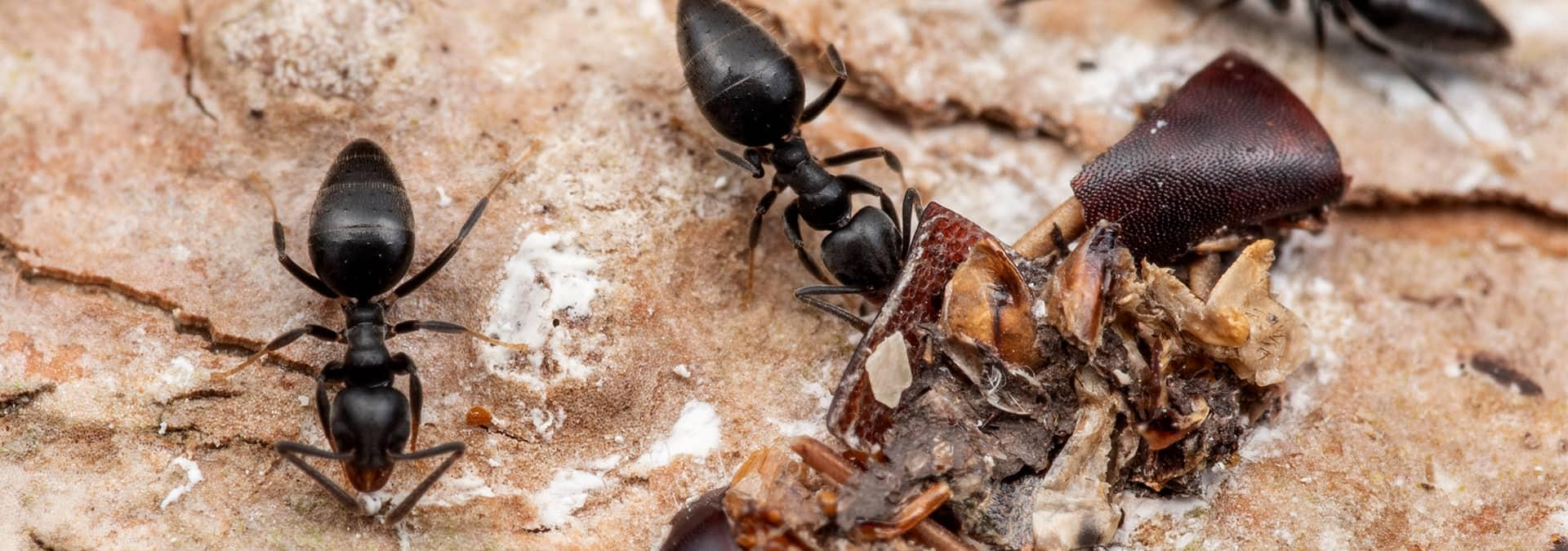 white-footed ants in florida