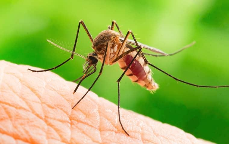 a mosquito biting a person in fruit cove florida