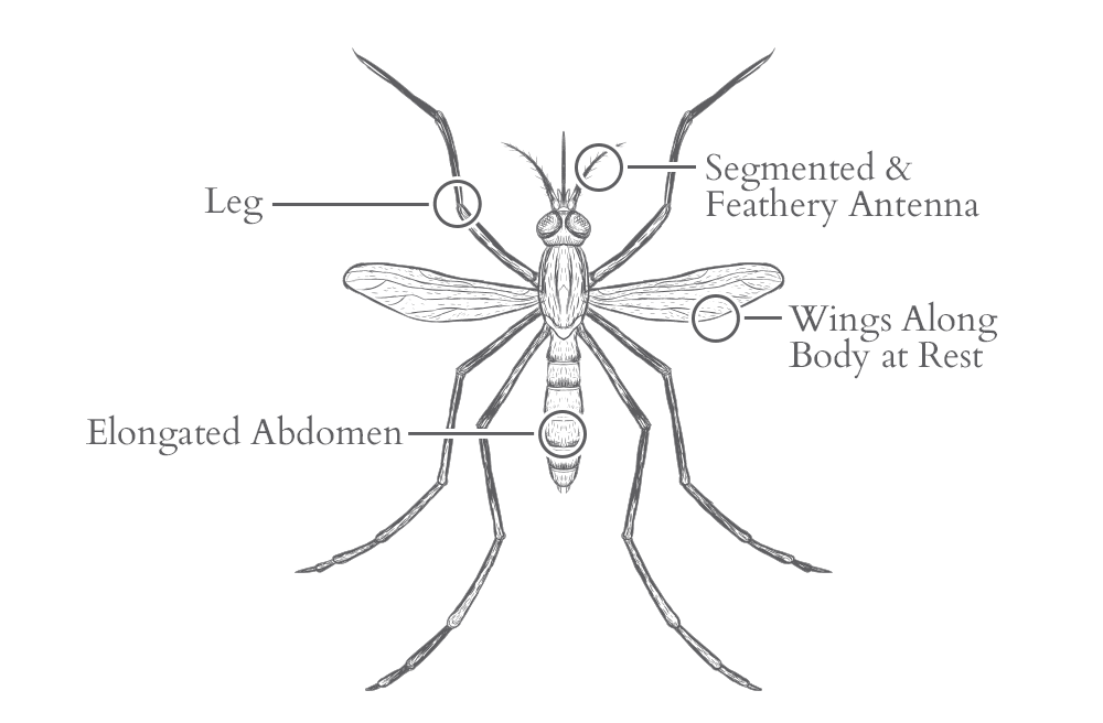 an illustration of a mosquito