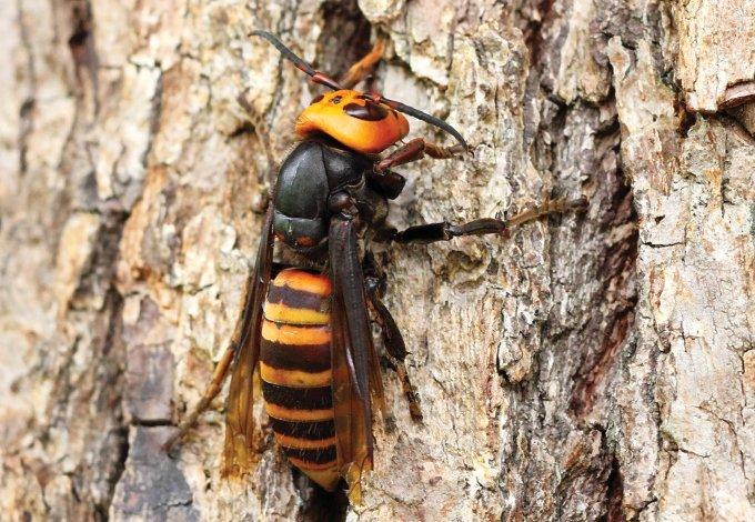close up of an asian giant hornet