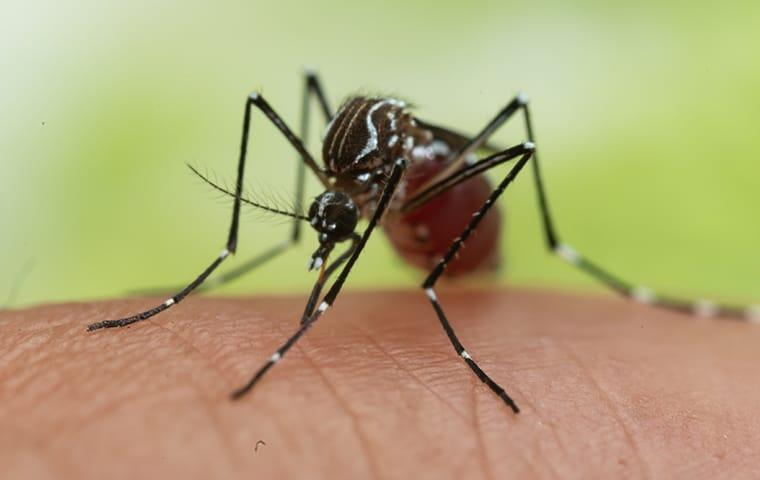 a mosquito biting a nocatee florida resident