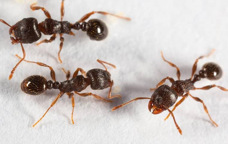 pavement ants crawling on a wall