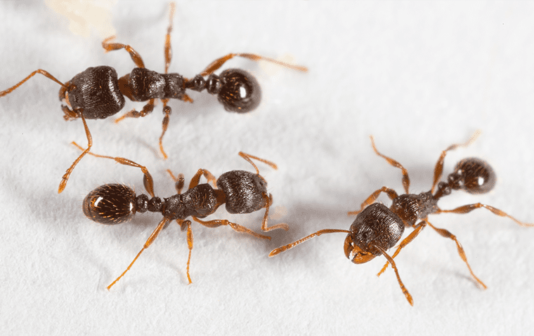 pavement ants inside a home in jacksonville florida