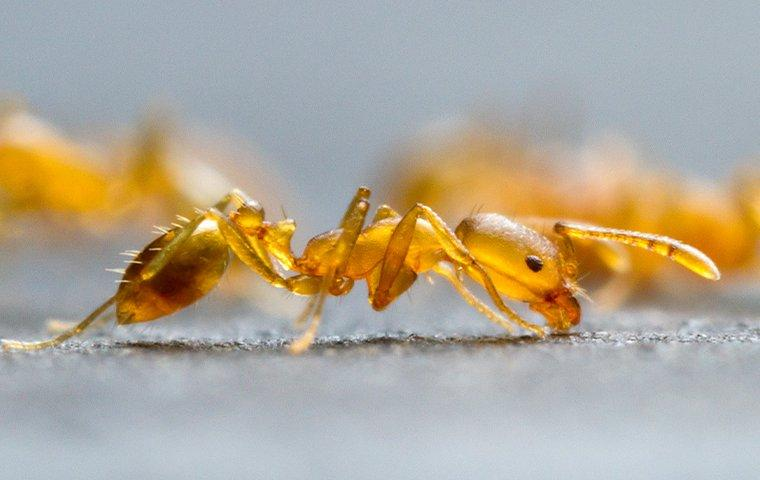a pharaoh ant crawling in a kitchen
