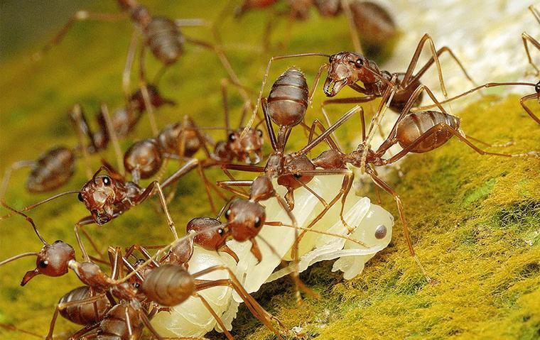pharaoh ants on a leaf outside of an asbury lake florida home