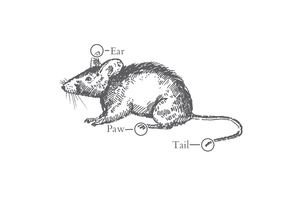 an illustration of a rat