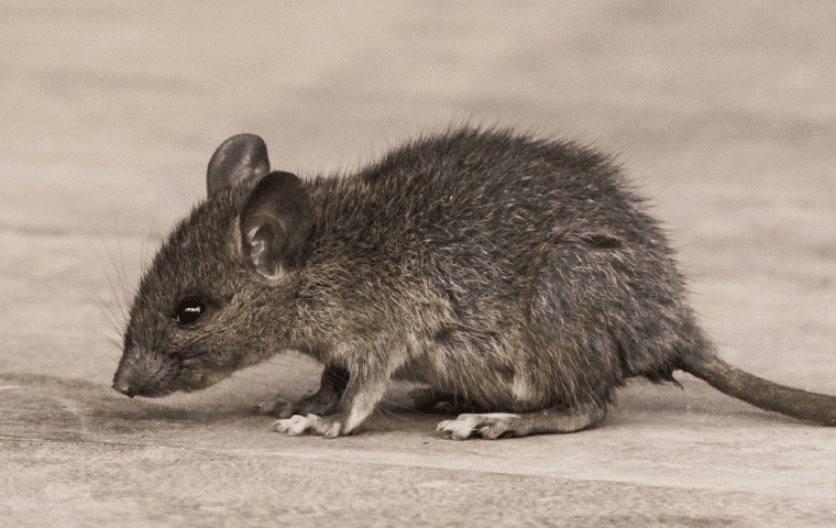 a house mouse in the attic of jacksonville florida home