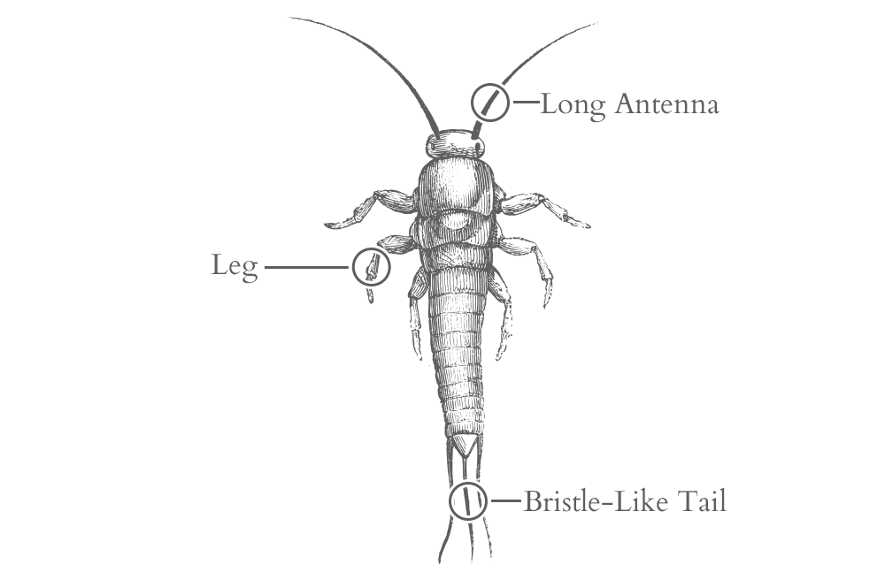 an illustration of a silverfish