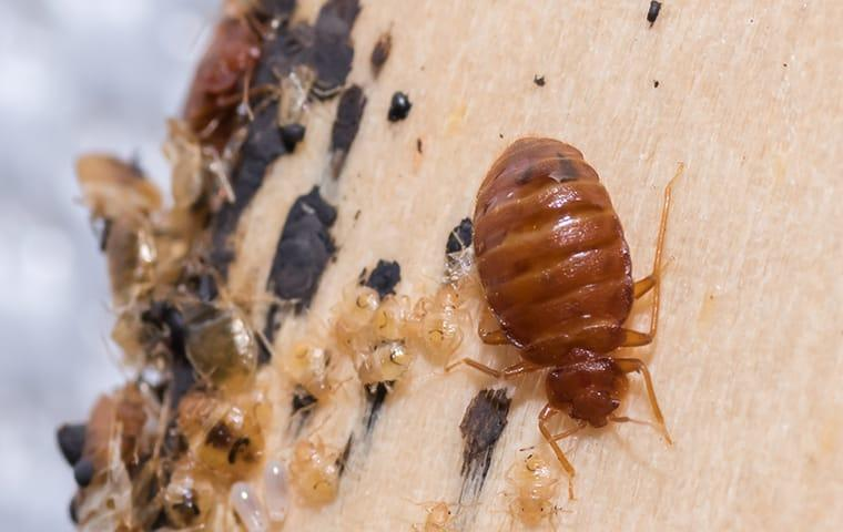 bed bugs in a st augustine beach florida home
