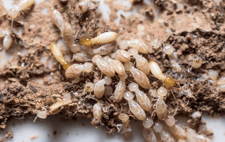 a subterranean termite colony in neptune beach florida