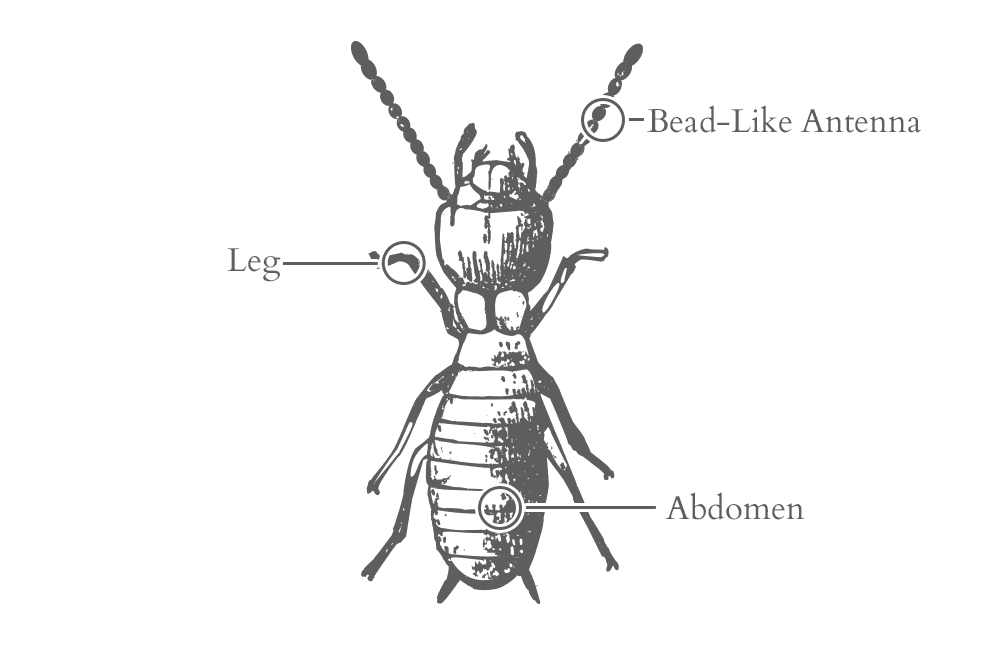 an illustration of a termite