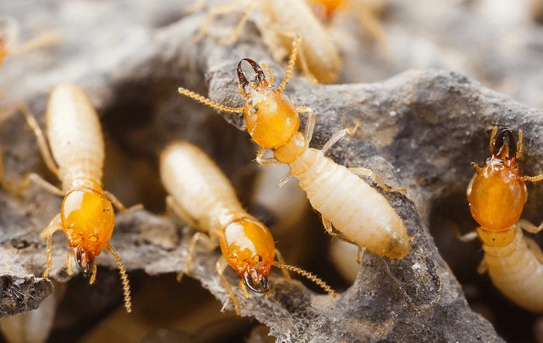 many termites crawling on damaged wood in amelia island florida