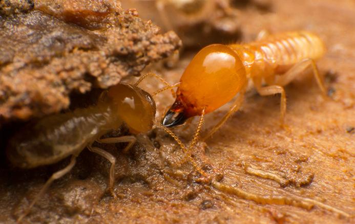 termites in ground