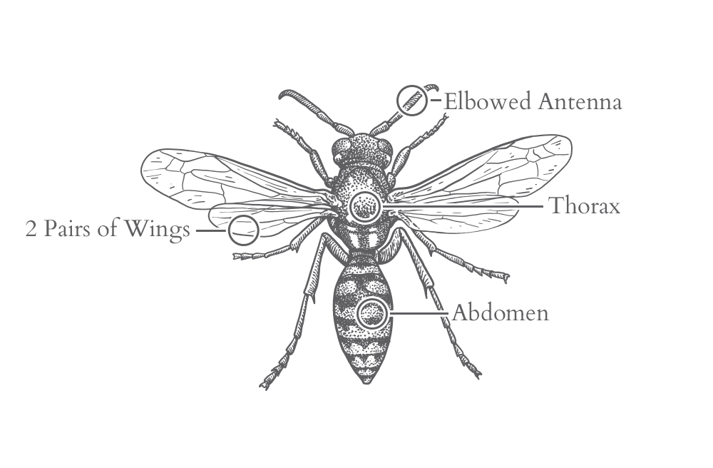an illustration of a wasp