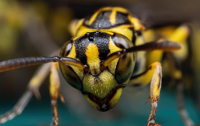 close up wasp face