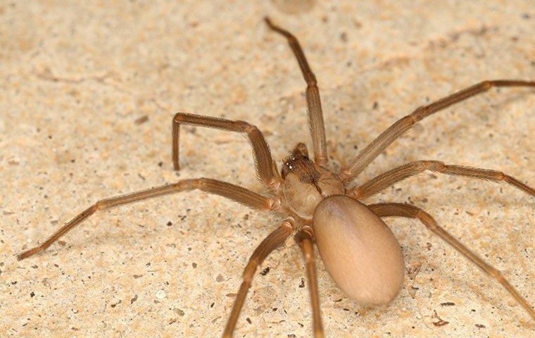 brown recluse spider on tiled kitchen floor