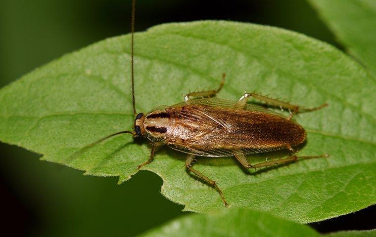 german cockroach on leaf
