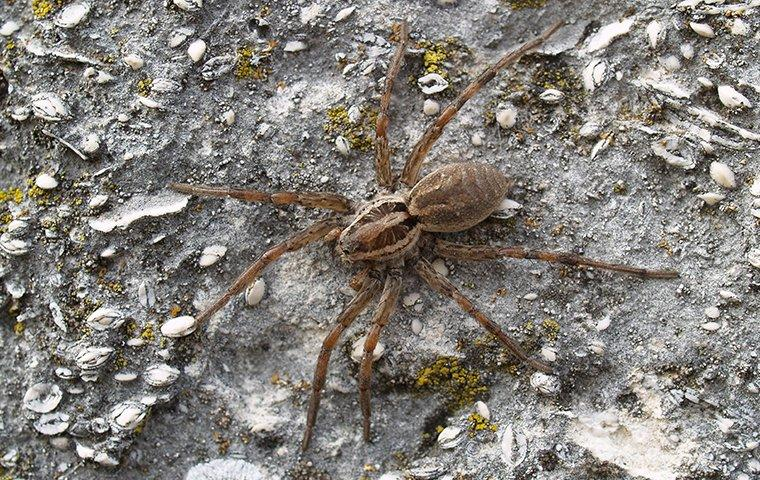 nuisance spider in gravel outside home